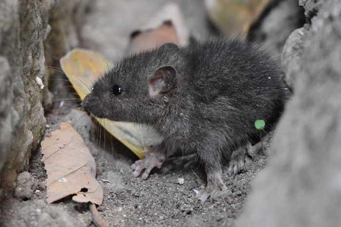 Grey mouse in motorhome